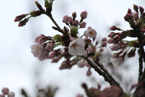 20170401_目黒イーストエリア桜まつり (536)